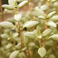 Thumbnail image for Thyme for Winter