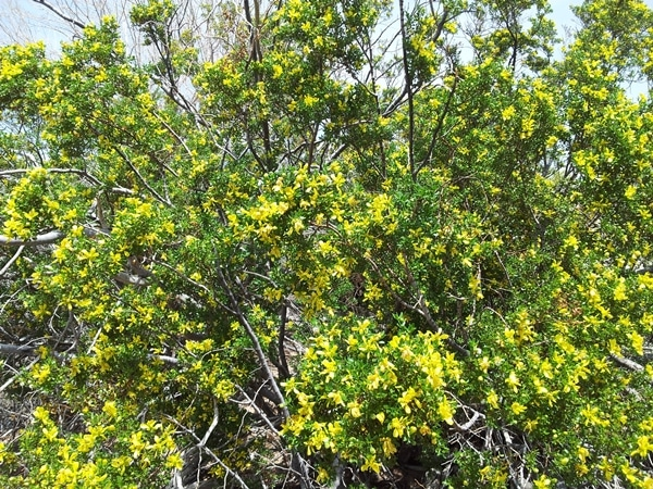 Larrea bush in flower