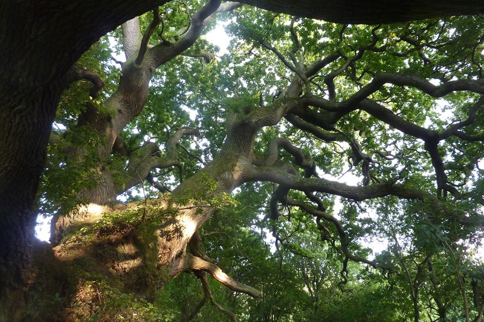 Old oak in England