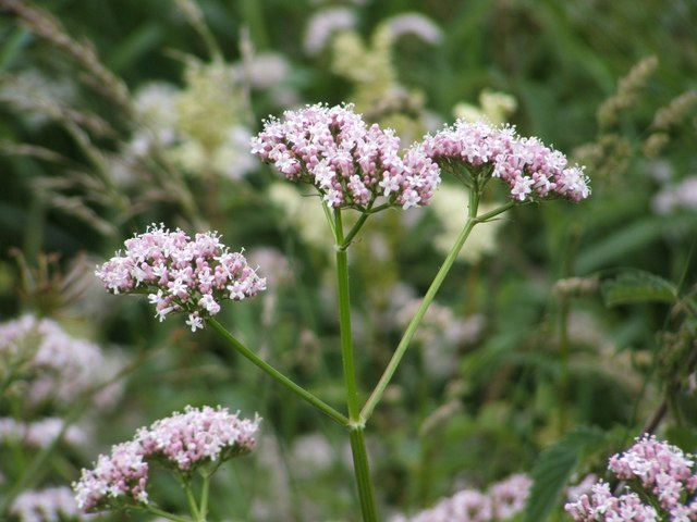 Common_Valerian_(Valeriana_officinalis)_-_geograph.org.uk_-_1143992