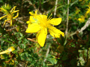 Light up winter with Saint John's Wort